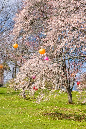 お祭り「カラフルな提灯で満開の桜の木」:スマホ壁紙(1)
