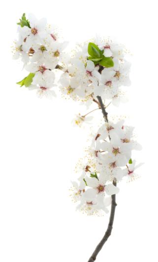 桜「サクラの木の花」:スマホ壁紙(9)