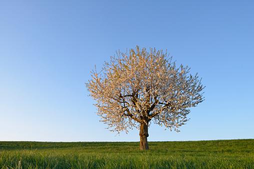 Single Tree「Cherry Tree blossom, clear blue sky.」:スマホ壁紙(4)