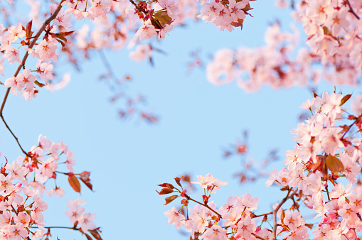 Cherry Blossoms「Cherry tree flowers at dawn」:スマホ壁紙(14)