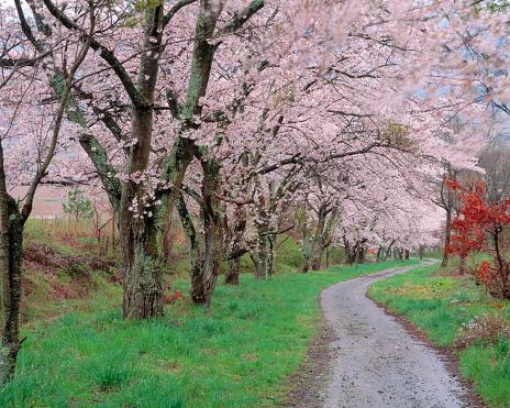 桜「Cherry Tree Lined Path, Nagano Prefecture, Japan.」:スマホ壁紙(1)