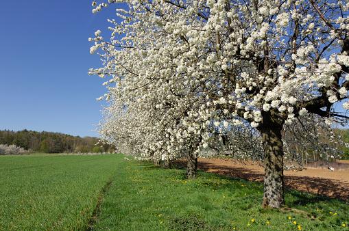 flower「Cherry trees in blossom.」:スマホ壁紙(10)
