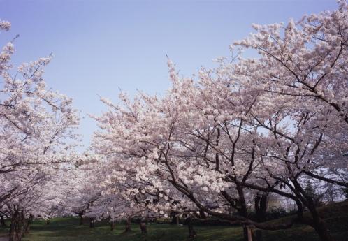 桜「Cherry trees in Tsuruoka Park」:スマホ壁紙(6)