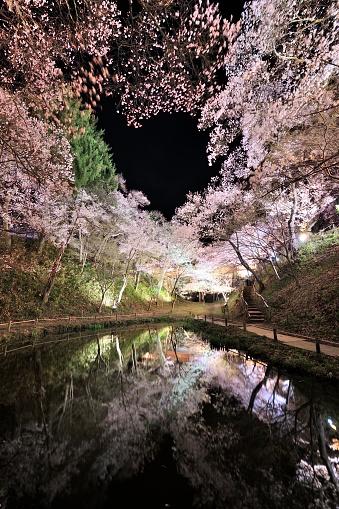 夜桜「Cherry trees」:スマホ壁紙(1)