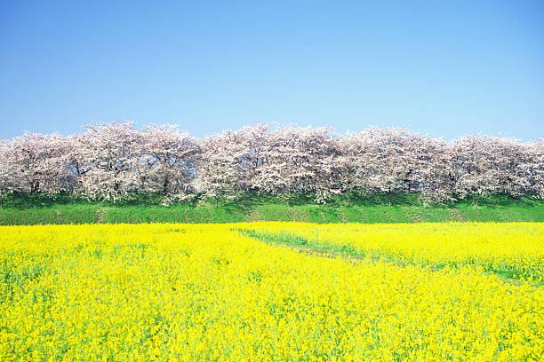 桜の木と rapes 満開です:スマホ壁紙(壁紙.com)