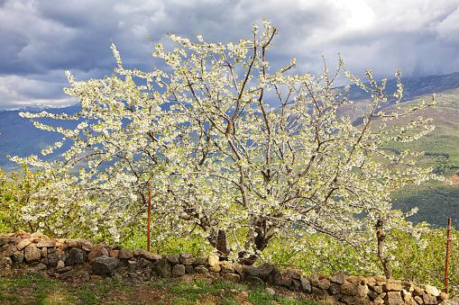 桜「Cherry tree blossom in Jerte valley, Caceres, Extremadura, Spain」:スマホ壁紙(8)