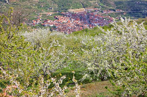 桜「Cherry tree blossom in Jerte valley, Caceres, Extremadura, Spain」:スマホ壁紙(9)
