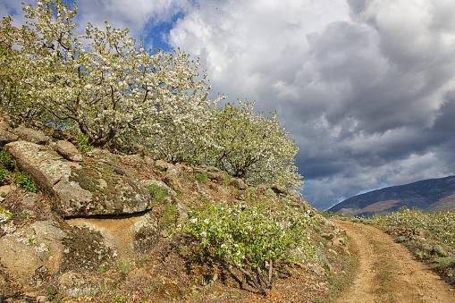 桜「Cherry tree blossom in Jerte valley, Caceres, Extremadura, Spain」:スマホ壁紙(7)