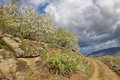 Cherry Blossom「Cherry tree blossom in Jerte valley, Caceres, Extremadura, Spain」:スマホ壁紙(15)