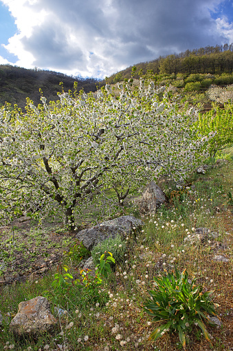 桜「Cherry tree blossom in Jerte valley, Caceres, Extremadura, Spain」:スマホ壁紙(6)