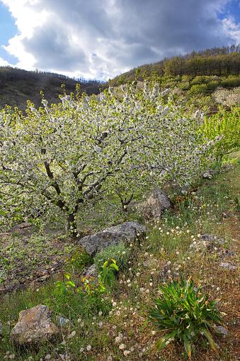 Cherry Blossom「Cherry tree blossom in Jerte valley, Caceres, Extremadura, Spain」:スマホ壁紙(16)