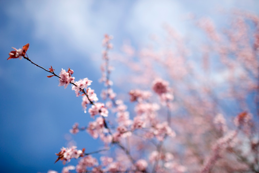 Cherry Blossoms「Cherry tree in bloom, low angle view (focus on blossoms in foreground)」:スマホ壁紙(3)