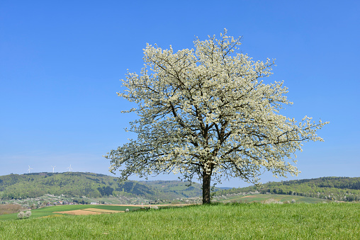 flower「Cherry Tree in meadow, blossom, spring.」:スマホ壁紙(0)