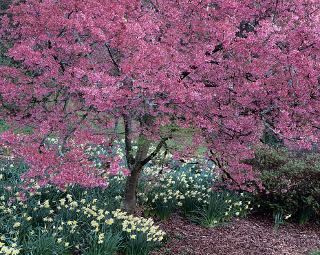 Cherry Blossom「Cherry tree in bloom in Arboretum Park, Seattle, Washington State, USA」:スマホ壁紙(2)