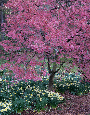 Cherry Blossom「Cherry tree in bloom in Arboretum Park, Seattle, Washington State, USA」:スマホ壁紙(1)