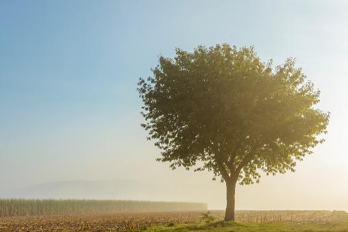 桜「Cherry tree with morning mist in autumn, Moenchberg, Bavaria, Germany」:スマホ壁紙(14)