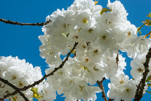 桜「Cherry tree blossoms, Irland」:スマホ壁紙(11)