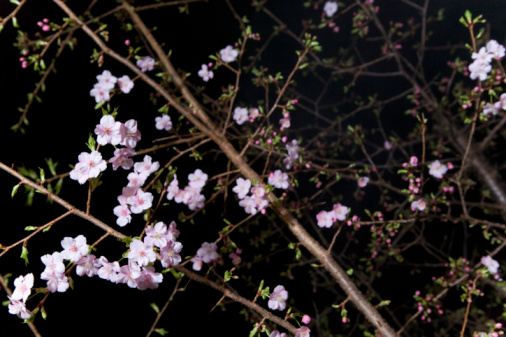 夜桜「Cherry trees in the night, low angle view, black background, Japan」:スマホ壁紙(2)