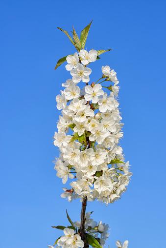 小枝「Cherry Tree blossom against clear blue sky, spring.」:スマホ壁紙(4)