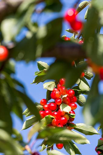 桜「Cherry tree in the Douro valley」:スマホ壁紙(0)