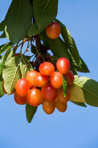 桜「Cherry tree in the Douro valley」:スマホ壁紙(1)
