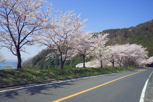桜「Cherry tree lined road, Nishiazai-machi, Shiga Prefecture, Japan」:スマホ壁紙(17)