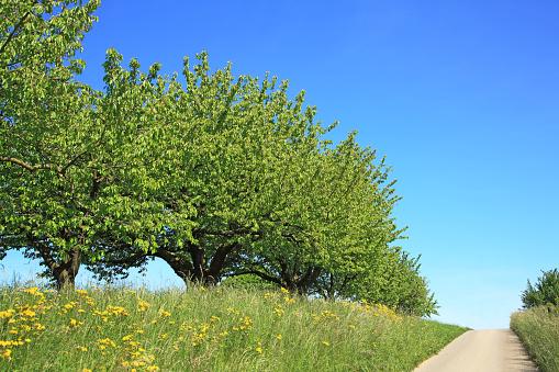 桜「Cherry trees,  Switzerland, Canton Solothurn」:スマホ壁紙(4)