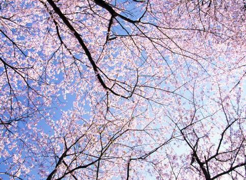 桜「チェリーツリーの引き立てる」:スマホ壁紙(3)