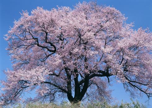 桜「Cherry Tree」:スマホ壁紙(5)
