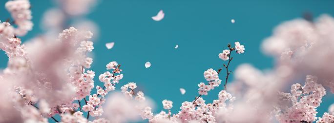 Springtime「Cherry Tree In Spring」:スマホ壁紙(14)