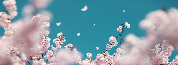 Pastel Colored「Cherry Tree In Spring」:スマホ壁紙(3)