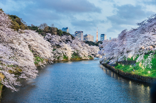 Cherry Blossoms「Cherry trees in full bloom in Tokyo」:スマホ壁紙(2)