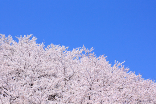 桜「Cherry trees under sky, blue background, copy space」:スマホ壁紙(19)