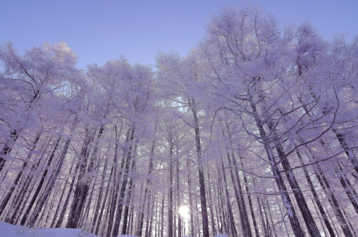 Snow scene「Japanese larch in winter, low angle view, Yamagata Prefecture, Japan」:スマホ壁紙(8)
