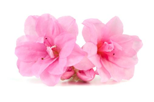Azalea「Pink Azalea」:スマホ壁紙(18)
