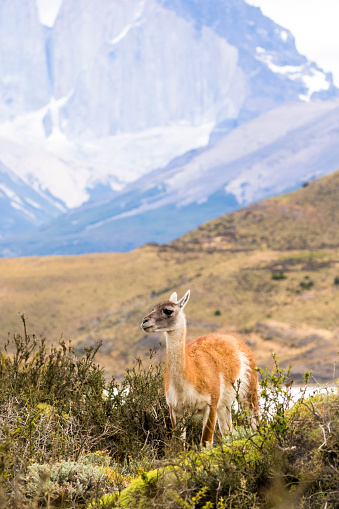 Vicuna「South America, Chile, Vicuna, Torres del Paine National Park」:スマホ壁紙(11)