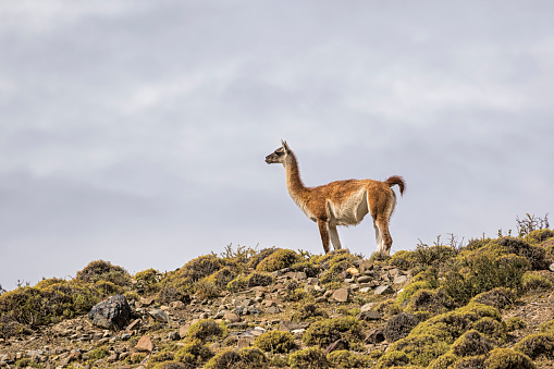 Vicuna「South America, Chile, Vicuna, Torres del Paine National Park」:スマホ壁紙(15)