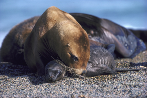 Sea Lion「south american sea lion」:スマホ壁紙(1)