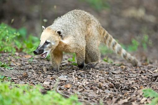 Raccoon「South American coati」:スマホ壁紙(10)