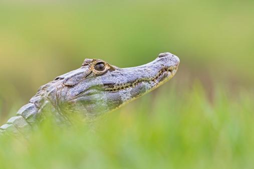一匹「South America, Brasilia, Mato Grosso do Sul, Pantanal, Yacare caiman, Caiman yacare」:スマホ壁紙(8)