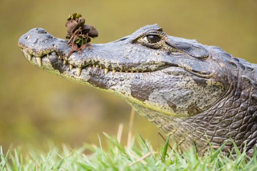 一匹「South America, Brasilia, Mato Grosso do Sul, Pantanal, Yacare caiman, Caiman yacare」:スマホ壁紙(7)