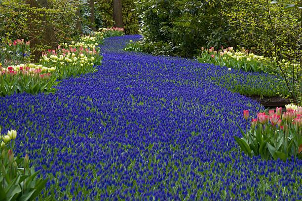 A dense path of purple crocuses.:スマホ壁紙(壁紙.com)