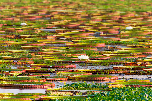 Water Lily「Abundance of Giant liles (Victoria amazonica) in Porto Jofre, Pantanal, Mato Grosso, Brazil」:スマホ壁紙(10)