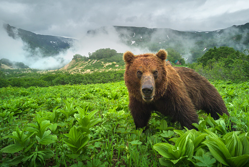 Kamchatka Peninsula「Kamchatka brown bear (Ursus arctos beringianus), Valley of the Geysers, Kamchatka」:スマホ壁紙(13)