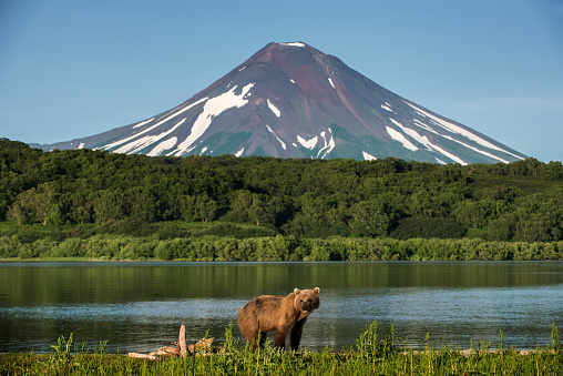 Volcanic Landscape「Kamchatka brown bear (Ursus arctos beringianus) at Kuril Lake, Kamchatka Peninsula」:スマホ壁紙(13)