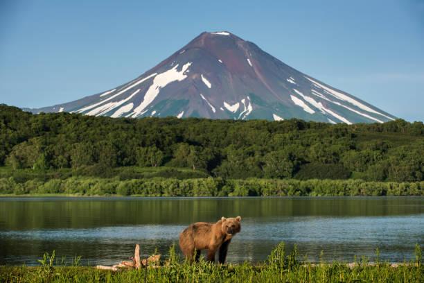 Kamchatka brown bear (Ursus arctos beringianus) at Kuril Lake, Kamchatka Peninsula:スマホ壁紙(壁紙.com)