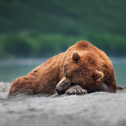 Kamchatka Peninsula「Kamchatka brown bear (Ursus arctos beringianus), Kuril Lake, Kamchatka Peninsula」:スマホ壁紙(3)