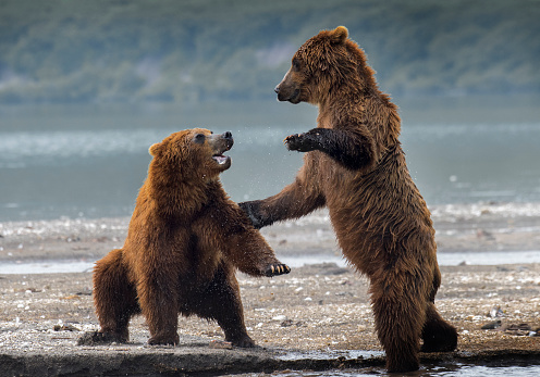 Kamchatka Peninsula「Kamchatka brown bear (Ursus arctos beringianus) playing, Lake Kuril, Kamchatka Peninsula」:スマホ壁紙(2)