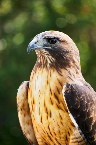 Hawk - Bird「USA, Wyoming, Portrait of Peregrine falcon (Falco peregrinus)」:スマホ壁紙(15)