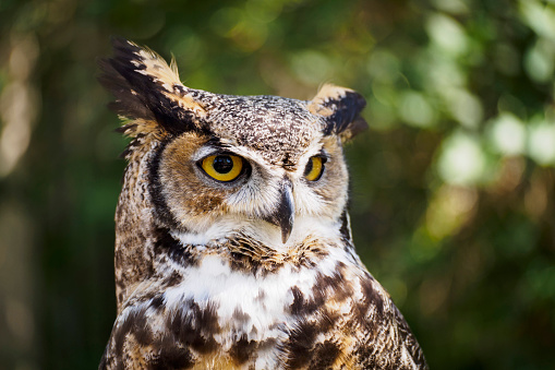 一匹「USA, Wyoming, Portrait of Great horned owl (Bubo virginianus)」:スマホ壁紙(13)